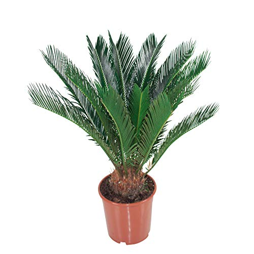 Cycas revoluta | Cycadaceae | Sagopalme | Sagopalmfarn | Höhe 45-55cm | Topfgröße Ø 12cm