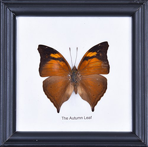 The Autumn Leaf - cotton mounted butterfly taxidermy 12x12cm frame by Natural History (Autumn Leaves Framed)