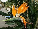 Strelitzienwelt Strelitzia Reginae - orange blühende Paradiesvogelblume, Jungpflanzengröße o. Topf 25 cm - 40 cm