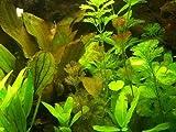 30 Aquariumpflanzen & Dünger für 3000 Liter, Wasserpflanzen -