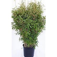 Suchergebnis Auf Amazon De Fur Bambus Pflanzen