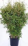 Bambus, Höhe: 130-140 cm, Fargesia Jumbo, winterharte Pflanze für den Garten + Dünger