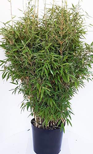 fargesia hecke Bambus, Höhe: 130-140 cm, Fargesia Jumbo, winterharte Pflanze für den Garten + Dünger