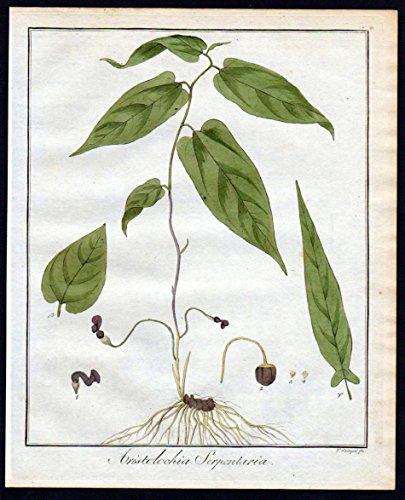 Aristolochia serpentaria - Pfeifenblume Virginia snakeroot Kräuter herbal Kupferstich engraving antique print
