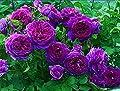 ADB Inc Dark Purple Kletterrose Perennial Blumen Bio-Saatgut von SVI - Du und dein Garten