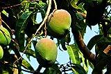Mangobaum Mangifera indica Mango Pflanze 5-10cm Obstbaum Obstpflanze Rarität