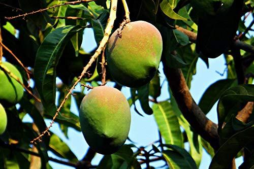 Mangobaum Mangifera indica Mango Pflanze 10cm süße essbare Früchte sehr selten
