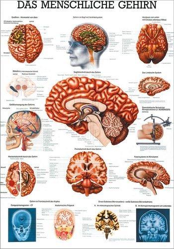 Ruediger Anatomie MIPO14LAM Das menschliche Gehirn Tafel, 24 cm x 34 cm, laminiert -