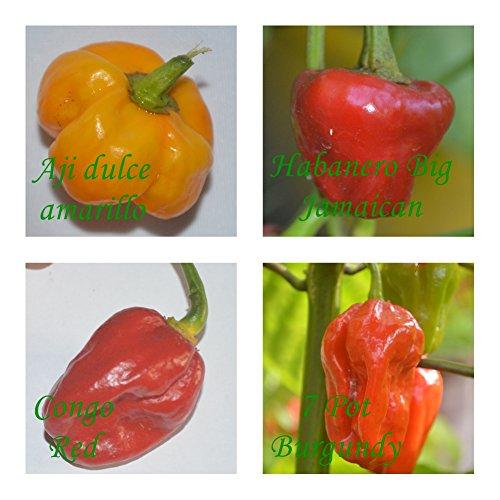 seltene Chilis - 4 Sorten - leicht bis extrem scharf - je 10 Samen sortenrein verpackt !