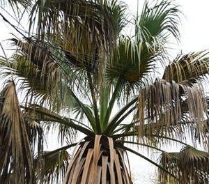 California Fan Palm Seeds (Washingtonia filifera) 5+ Rare Seeds + FREE Bonus 6 Variety Seed Pack - a $29.95 Value! Packed in FROZEN SEED CAPSULES for Growing Seeds Now or Saving Seeds For Years