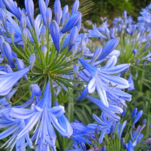 mamaison007-10pz-blu-clivia-agapanthus-africamus-pianta-da-esterno