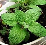 Qbisolo 50PCS / Set Plantes Aromatiques de Menthe de Chat Graines de Cataire,Graines d'herbe à Chat