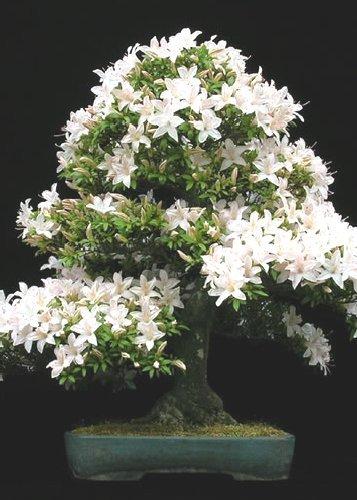 TROPICA - Cerezo de Santa Lucía (Prunus mahalep) - 30 semillas- Bonsai