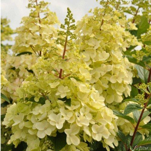Rispenhortensie Candlelight grüngelb - Hortensie winterhart & mehrjährig - Hydrangea paniculata - 1 Pflanze von Garten Schlüter - Pflanzen in Top Qualität