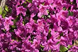Japanische Azalee Königstein Rhododendron lila-rot blühend Lieferhöhe 25-30 cm im Topf