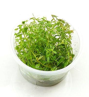 Proserpinaca palustris (Kammblatt Pflanze) Süsswasser Pflanze Wasserpflanze Terrarium Pflanze von Wasserfarm - Du und dein Garten