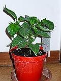 immagine prodotto Peperoncino in vaso Diametro 11 Naga Moric,Trinidat moruga Scorpion,Carolina Reaper, Mondonatura Srl