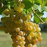 Vitis vinifera 'Muscat d'Alexandrie' - Vigne Malaga - Raisin de table jaune