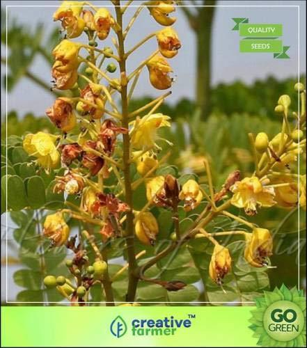 Pinkdose Baumsamen: Sappan Holzzierbaumsamen Seed