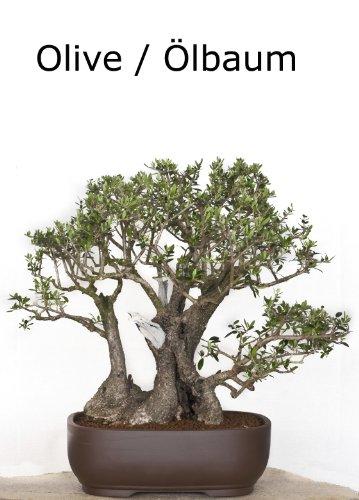 Seedeo Ölbaum/Olive Bonsai 20 Samen
