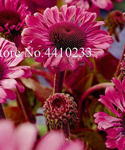 Plentree Samen Paket: 100 PC mischte Echinacea-Blumen-Bonsais, seltenes Lang Bloom Much-Doub Sonnenhut Bonsai Für Hausgarten Innen Leicht s: b