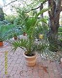 Phoenix Canariensis, schnellwachsende Dattelpalme, 10 frische Samen