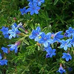 lichtnelke - Steinsame (Lithodora diffusa 'Heavenly Blue')