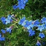 lichtnelke - Steinsame (Lithodora diffusa 'Heavenly Blue')