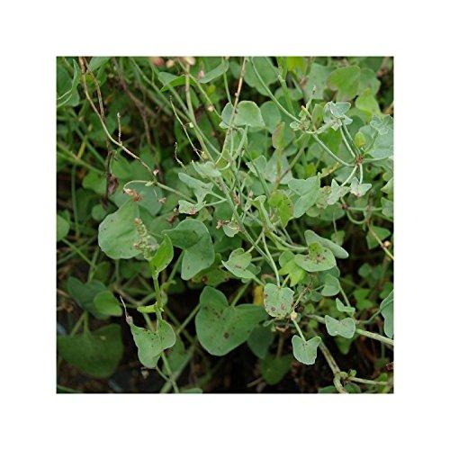 Oseille d'Espagne - Rumex scutatus - Pot de 1,5L (diamètre 15cm)