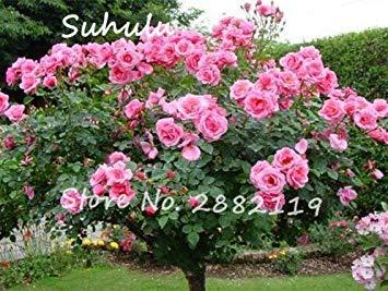 Vistaric 50 pcs Rare Belle Rose Rose Rose Graines De Fleurs D'arbres Maison Décoration Murale et Fête/Décoration De Mariage Bricolage Maison Jardin Des Plantes 2
