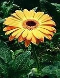 Schnell Bonsai Blumensamen 20 Gerbera (Gerbera Jamesonii Hybrids Mix) Garten Samen keimen