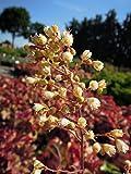 Garten-Purpurglöckchen World Caffe Amaretto Bodendecker weiß blühend Staude Sonne-Halbschatten Heuchera x hybrida im 3 Liter Topf 1 Pflanze