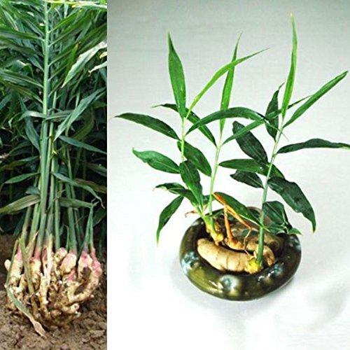 portal cool 100 pz semi di zenzero semi di piante bonsai facile da coltivare balcone verdure in vaso