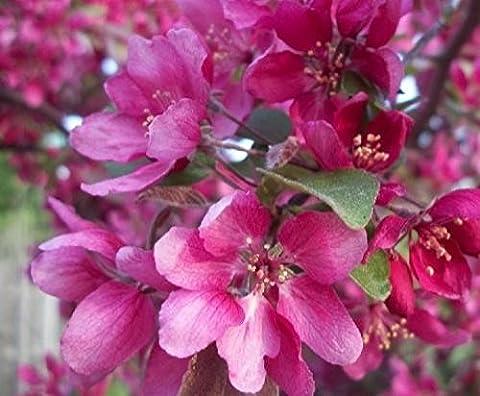 Malus Director Moorland Flowering Crab Apple Tree 6ft Supplied in