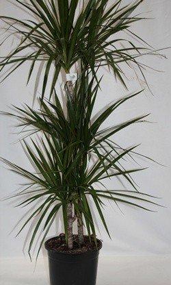 Dracena Marginata (3 troncos) - Planta viva de interior