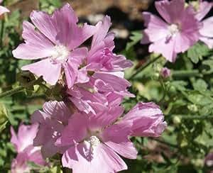 5 hohe Sommerblumen typisch für den Bauerngarten in einem Paket - Samen - Bio - NEU 2015! Gartenfuchsschwanz, Stockrose, Eselsdistel, Spinnenblume , Sonnenblume