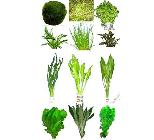 10 Bunde ca. 60 Pflanzen + Javamoos, Mooskugeln, Dünger, Aufbereiter ... (Echte Live-aquarium Pflanzen)