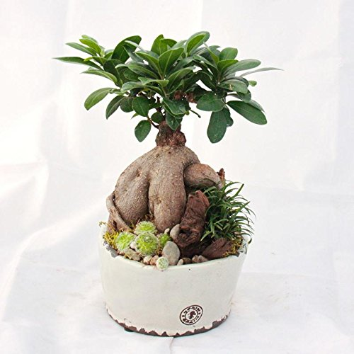 Ficus ginseng in antique bowl with accompaniments