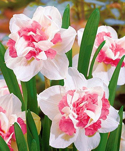Yukio Samenhaus - Selten Duftend Rosa Narzisse 'Double Duo' gefüllt Osterglocken Blumensamen winterhart exotisch Toller Farbkontrast, Perfekt für Beet und Vase (50pcs(Nummer SVC032536_3))