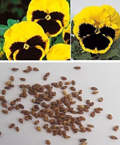 150x Pensées Suisse géant Rhinegold fleurs de jardin plant graines K426
