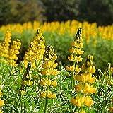 Keptei Samenhaus- 50 Korn Bio Lupinensamen Lupinus Zierblumen Massenhausgartenanlage Bitterlupine Gründünger Düngelupinen Saatgut winterhart