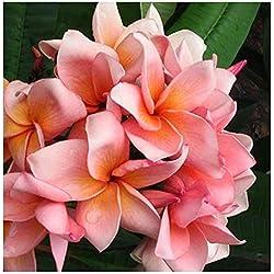 Plumeria rubra Salmon Pink - Frangipani - Wachsblume - 3 Samen