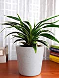 #6: Abana Homes Air Purifying Spider Plant in Ceramic Pot