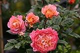 Augusta Luise® - Container Rose im 4 ltr. Topf