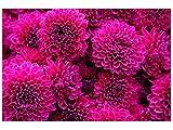 Oedim Stickers muraux Photo Image | Bouquet de Fleurs Magenta | De 500 x 300 cm | Sticker Vinyle Adhésif Autocollant Fond Mural |