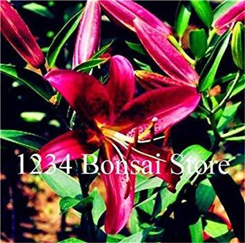 . 100 pz lily rare lilium brownii fiore piante in vaso fiore plantas per la casa e il giardino ornamentale delle piante purificano l'aria: 11