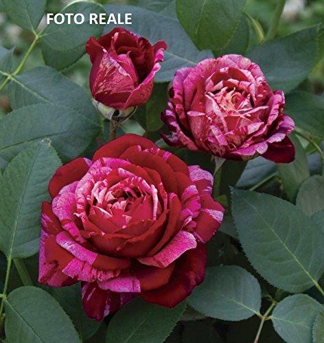 Pianta di Rosa a CESPUGLIO BREVETTATA Ottavio Missoni  PROFUMATA VERA in vaso 20CM ROSE BARNI AMDGarden