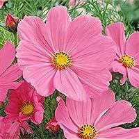 PLAT FIRM SEMILLAS DE GERMINACION: B) 2000 Semillas: Outsidepride Cosmos Bipinnatus Pinkie Flower