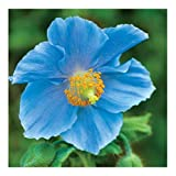 Premier Seeds Direct PAP17F Himalayan Blue Poppy Meconopsis Betonicifolia Seeds (Pack of 50)
