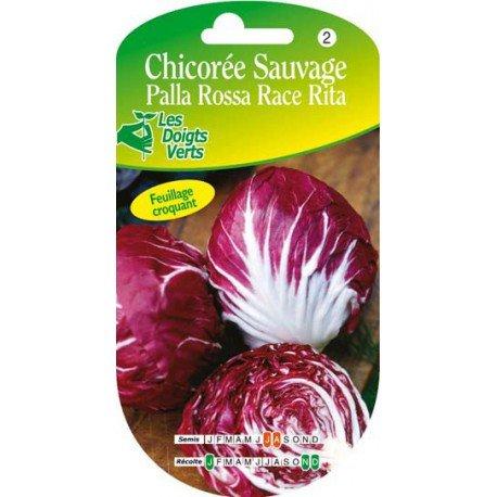 Chicorée sauvage Palla Rossa race Rita 3
